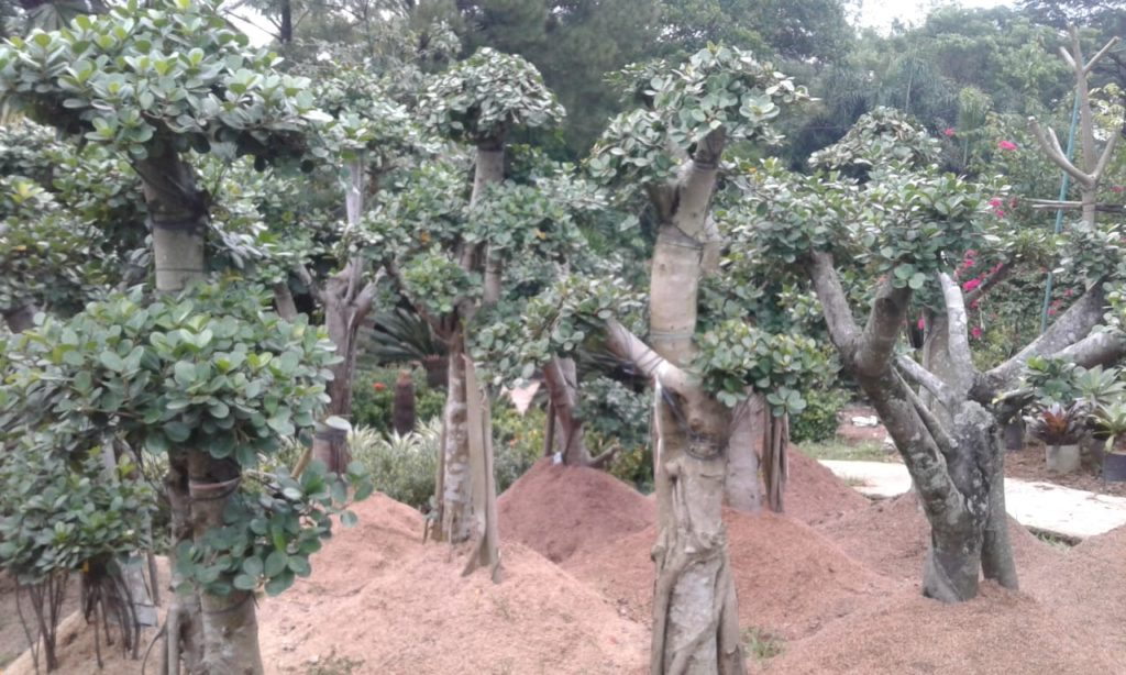 pohon bonsai beringin korea